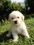 French poodle puppy stock image