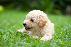 French Poodle Puppy. A french poodle puppy resting on the grass Stock Images
