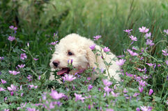 French poodle puppy Royalty Free Stock Images