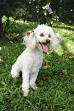 French poodle sitting Royalty Free Stock Images