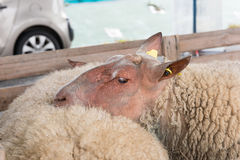 French race sheep Stock Photography