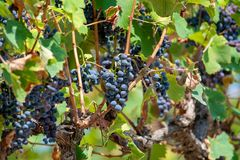 French red AOC wine grapes plant, new harvest of wine grape in. France, Vaucluse, Gigondas domain or chateau vineyard Dentelles de Montmirail close up royalty free stock images