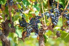 French red AOC wine grapes plant, new harvest of wine grape in. France, Vaucluse, Gigondas domain or chateau vineyard Dentelles de Montmirail close up stock photos