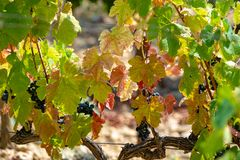 French red AOC wine grapes plant, new harvest of wine grape in. France, Vaucluse, Gigondas domain or chateau vineyard Dentelles de Montmirail close up royalty free stock photography