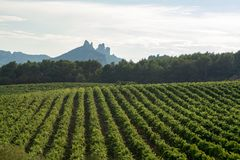 French red AOC wine grapes plant, new harvest of wine grape in. France, Vaucluse, Gigondas domain or chateau vineyard Dentelles de Montmirail landscape royalty free stock photos