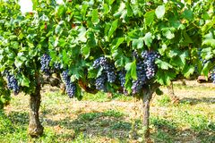 French red AOC wine grapes plant, new harvest of wine grape in. France, Vaucluse, Gigondas domain or chateau vineyard Dentelles de Montmirail close up royalty free stock image