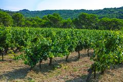 French red AOC wine grapes plant, new harvest of wine grape in France, Vaucluse, Gigondas domain or chateau vineyard Dentelles de. Montmirail landscape royalty free stock image