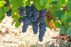 French red AOC wine grapes plant, new harvest of wine grape in France, Vaucluse, Gigondas domain or chateau vineyard Dentelles de. Montmirail close up royalty free stock photos