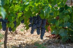 French red AOC wine grapes plant, new harvest of wine grape in France, Vaucluse, Gigondas domain or chateau vineyard Dentelles de. Montmirail close up royalty free stock images