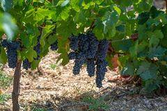 French red AOC wine grapes plant, new harvest of wine grape in France, Vaucluse, Gigondas domain or chateau vineyard Dentelles de. Montmirail close up royalty free stock photo
