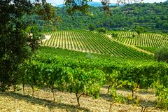 French red AOC wine grapes plant, new harvest of wine grape in France, Vaucluse, Gigondas domain or chateau vineyard Dentelles de. Montmirail landscape stock photo