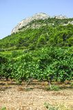French red AOC wine grapes plant, new harvest of wine grape in France, Vaucluse, Gigondas domain or chateau vineyard Dentelles de. Montmirail landscape royalty free stock photos