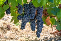 French red AOC wine grapes plant, new harvest of wine grape in France, Vaucluse, Gigondas domain or chateau vineyard Dentelles de. Montmirail close up stock image
