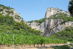 French red AOC wine grapes plant, new harvest of wine grape in France, Vaucluse, Gigondas domain or chateau vineyard Dentelles de stock images