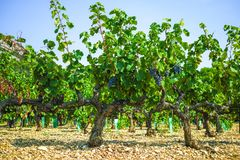French red AOC wine grapes plant, new harvest of wine grape in France, Vaucluse, Gigondas domain or chateau vineyard Dentelles de. Montmirail close up stock photos