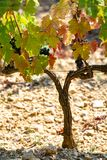 French red AOC wine grapes plant, new harvest of wine grape in France, Vaucluse, Gigondas domain or chateau vineyard Dentelles de. Montmirail close up stock photography