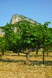 French red AOC wine grapes plant, new harvest of wine grape in. France, Vaucluse, Gigondas domain or chateau vineyard Dentelles de Montmirail landscape royalty free stock photography