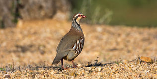 French or red-legged partridge Royalty Free Stock Image