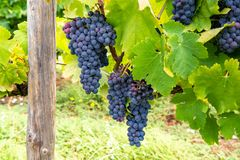 French red and rose wine grapes plant, first new harvest of wine grape in France, Costieres de Nimes AOP domain or chateau. French red and rose wine grapes plant royalty free stock photography