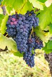 French red and rose wine grapes plant, first new harvest of wine grape in France, Costieres de Nimes AOP domain or chateau. French red and rose wine grapes plant stock images