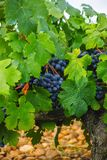 French red and rose wine grapes plant, first new harvest of wine grape in France, Costieres de Nimes AOP domain or chateau. French red and rose wine grapes plant stock photography