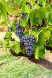 French red and rose wine grapes plant, first new harvest of wine grape in France, Costieres de Nimes AOP domain or chateau. French red and rose wine grapes plant stock image