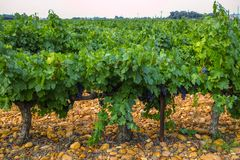 French red and rose wine grapes plant, first new harvest of wine grape in France, Costieres de Nimes AOP domain or chateau. French red and rose wine grapes plant stock photos
