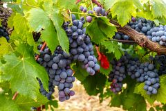 French red and rose wine grapes plant, first new harvest of wine grape in France, Costieres de Nimes AOP domain or chateau. French red and rose wine grapes plant royalty free stock image