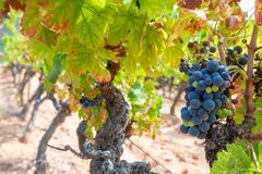 French red and rose wine grapes plant, growing on ochre mineral soil, new harvest of wine grape in France, Vaucluse Luberon AOP. Domain or chateau vineyard royalty free stock image
