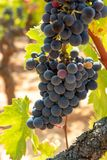 French red and rose wine grapes plant, growing on ochre mineral soil, new harvest of wine grape in France, Vaucluse Luberon AOP. Domain or chateau vineyard royalty free stock photography
