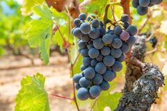 French red and rose wine grapes plant, growing on ochre mineral soil, new harvest of wine grape in France, Vaucluse Luberon AOP. Domain or chateau vineyard royalty free stock images