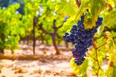 French red and rose wine grapes plant, growing on ochre mineral soil, new harvest of wine grape in France, Vaucluse Luberon AOP. Domain or chateau vineyard stock photos