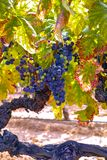 French red and rose wine grapes plant, growing on ochre mineral soil, new harvest of wine grape in France, Vaucluse Luberon AOP. Domain or chateau vineyard royalty free stock photo