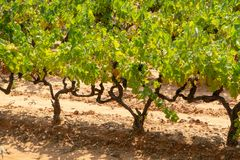 French red and rose wine grapes plant, growing on ochre mineral soil, new harvest of wine grape in France, Vaucluse Luberon AOP. Domain or chateau vineyard stock images