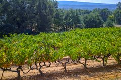 French red and rose wine grapes plant, growing on ochre mineral soil, new harvest of wine grape in France, Vaucluse Luberon AOP. Domain or chateau vineyard stock photography
