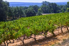 French red and rose wine grapes plant, growing on ochre mineral soil, new harvest of wine grape in France, Vaucluse Luberon AOP. Domain or chateau vineyard stock photo