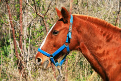 French Saddle Horse Stock Photography