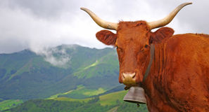 French Salers cow. French cow with bell staring at the photographer with misty mountain in background Stock Photo