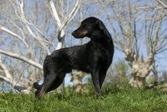 French shepherd Stock Photography