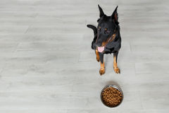 French shepherd against bowl with dog food Royalty Free Stock Image
