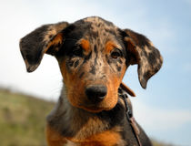French shepherd arlequin. Beautiful portrait of purebred french shepherd beauceron arlequin puppy Royalty Free Stock Images