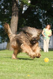 French shepherd briard, ball plaing Royalty Free Stock Photo