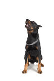 French shepherd dog, white background, front view Royalty Free Stock Images
