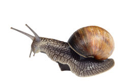 French snail Royalty Free Stock Image