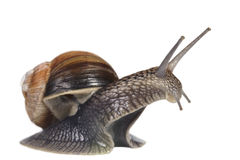 French snail Stock Images