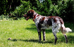 French spaniel Royalty Free Stock Photo