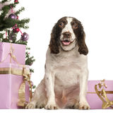 French Spaniel sitting in front of Christmas decorations Royalty Free Stock Photos
