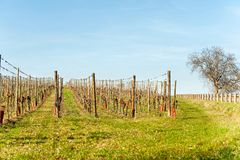 French springtime landscape with valleys of vineyard. Alsace. stock photography