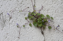 French stone wall in Provence with vining purple tubular flower Stock Photo