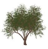 French tamarisk, tamarix gallica, tree - 3D render Stock Photos